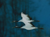 Perfect Formation of Two Japanese or Red-Crowned Cranes in Flight