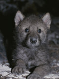 Portrait of a Four-Seek-Old Gray Wolf Pup  Canis Lupus  in It's Den