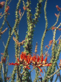 Close View of Ocotillo Flowers and Plant