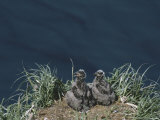 Pair of American Bald Eagle Chicks in Their Clifftop Nest