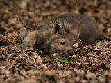 Five-Week-Old Gray Wolf Pup  Canis Lupus  Rests in a Pile of Leaves