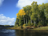 Birch Trees Along a Lake in Grass River Provincial Park
