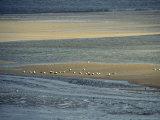 Eider Ducks on a Sandbar  Wattenmeer National Park  Germany