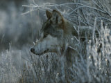 Gray Wolf  Canis Lupus  Peeks Out of a Weed Thicket