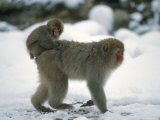 Young Japanese Macaque  or Snow Monkey  Rides on Its Mother's Back