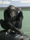 Captive Chimpanzee Scratches Its Head
