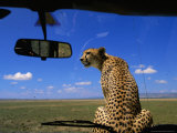 Cheetah Watches For Prey From Atop the Hood of a Safari Vehicle