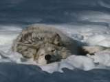 Gray Wolf  Canis Lupus  Takes a Nap in a Snowy Bed