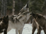 Pack of Gray Wolves  Canis Lupus  Howl