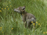 Five-Week-Old Gray Wolf  Canis Lupus  Sniffs at a Wildflower