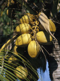 Cluster of Ripe Coconuts Hanging From a Palm Tree