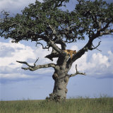 Lion Sleeps in the High Branches of a Tree