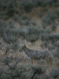 Coyote in a Field Dotted with Shrubs