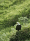 An American Bald Eagle on a Grassy Hillside