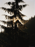 Silhouetted Fir Tree at Twilight
