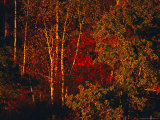 Autumn Foliage in the Late Afternoon Light