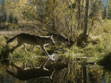 Two Gray Wolves  Canis Lupus  Cross a Small Woodland Pond