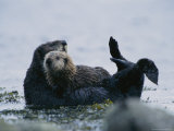 Sea Otter Cradling Her Pup in a Kelp Bed Off of Adak Island