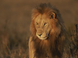 African Lion  Adult Male with Full Mane