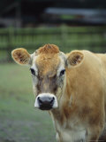 Close View of a Cow
