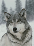 Portrait of a Beautiful Gray Wolf  Canis Lupus  in the Snow