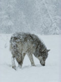 Gray Wolf  Canis Lupus  Sniffs at the Ground During a Snowstorm