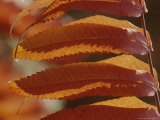 Close View of Sumac Leaves  Rhus Species  in Autumn Colors