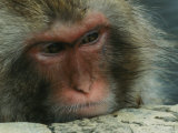 Face of a Japanese Macaque  or Snow Monkey  Soaking in a Hot Spring