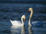 Pair of Mute Swans Swims Gracefully on the Water's Surface
