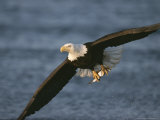 Bald Eagle Catches Fish