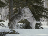 Couple of Gray Wolves  Canis Lupus  Play in a Wintry Landscape
