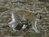 An Infant Vervet Monkey Clings to Its Mother's Stomach