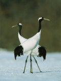 Pair of Japanese or Red-Crowned Cranes