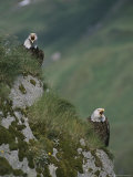 Pair of American Bald Eagles Calling From a Cliffside Perch