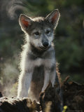 Portrait of a Seven-Week-Old Gray Wolf Pup  Canis Lupus