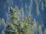 Bald Eagle Perched Atop a Tree in Seward  Alaska