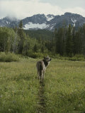 Gray Wolf  Canis Lupus  Crosses a Mountain Meadow on a Worn Path
