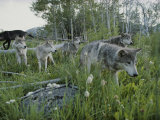 Group of Gray Wolves  Canis Lupus  Walk Through a Mountain Meadow