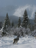 Gray Wolf  Canis Lupus  Passes Through a Snowy Mountain Landscape