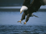 Bald Eagle Lunging For Fish with Outstretched Talons