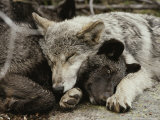 Two Five-Month-Old Gray Wolf  Canis Lupus  Pups Nap Together