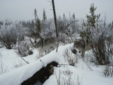 Two Gray Wolves  Canis Lupus  Survey a Wintry Landscape