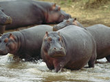 Group of Hippopotamuses Wades in Water