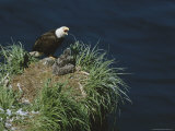 An American Bald Eagle and Its Chicks in Their Clifftop Nest