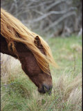 Grazing Wild Pony's Long Mane and Forelock Fall Across Its Eyes