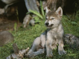 An 8-Week-Old Gray Wolf Pup  Canis Lupus  Bares His Teeth in a Snarl