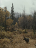 Lone Gray Wolf  Canis Lupus  Pauses in a Small Forest Clearing
