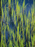 Close View of Water Grasses Growing in Erie National Wildlife Refuge
