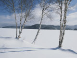 White Birch Trees on the Edge of Snow-Covered Lake Placid