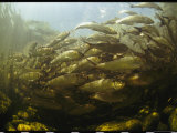 School of Alewives  Alosa Pseudoharengus  Swim Up Stream to Spawn